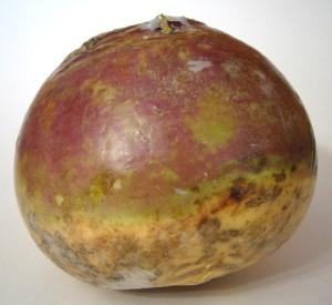 Rutabaga is a root vegetable available at most produce stores.